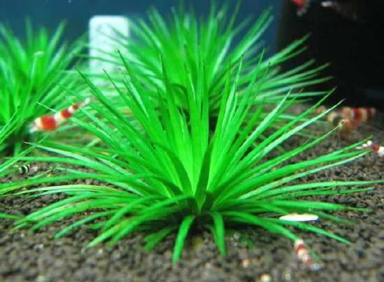 rośliny akweariowe