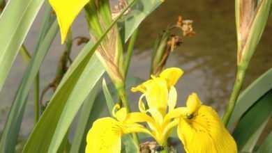 Photo of Kosaciec żółty (Iris pseudoacorus)