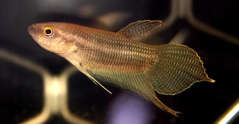 Betta ibanorum