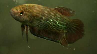 Photo of Betta simorum