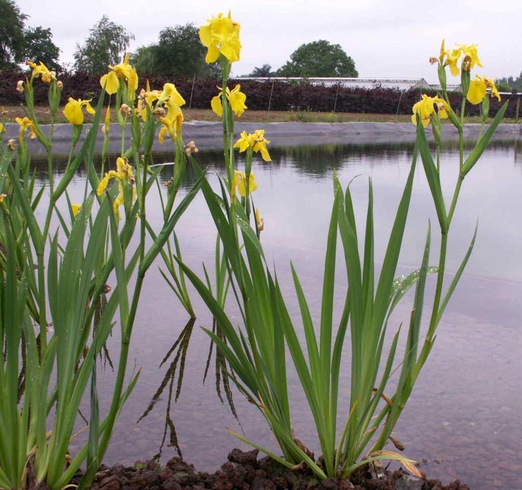 Kosaciec żółty (Iris pseudoacorus)