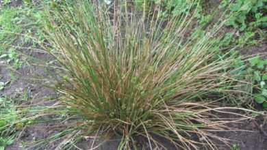 Photo of Sit rozpierzchły (Juncus effusus)
