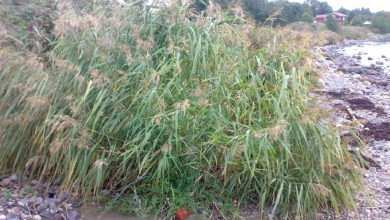 Photo of Trzcina pospolita (Phragmites communis)