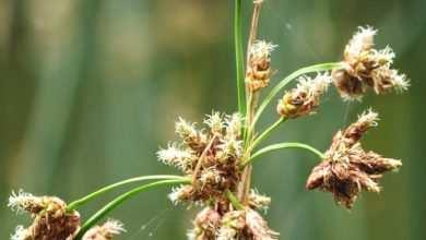 Oczeret jeziorny (Schoenoplectus lacustris)