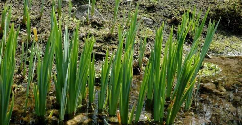 Tatarak zwyczajny (Acorus calamus)