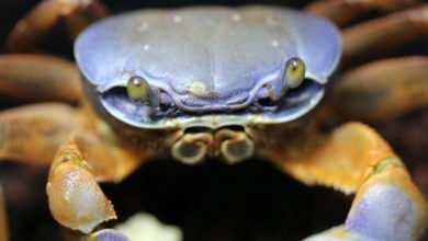 Photo of Mirosław Karpiński: Krab tęczowy (Cardisoma armatum) – kolejny przedstawiciel krabów w mojej hodowli