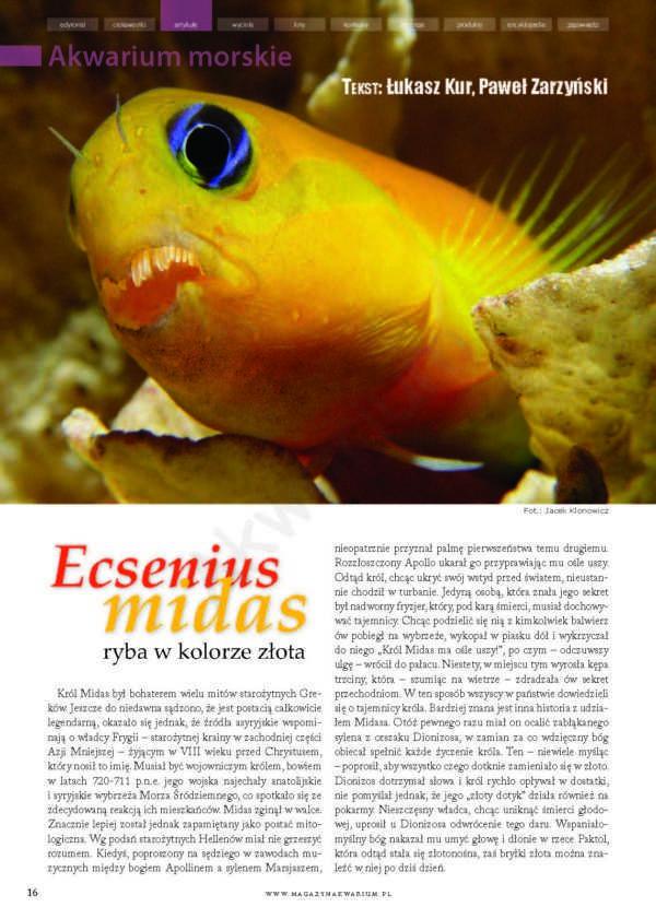Ecsenius midas