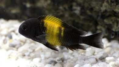 Tropheus sp. Bemba. Fot. Darek Firlej