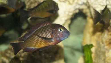 Photo of Tropheus sp. Chilanga