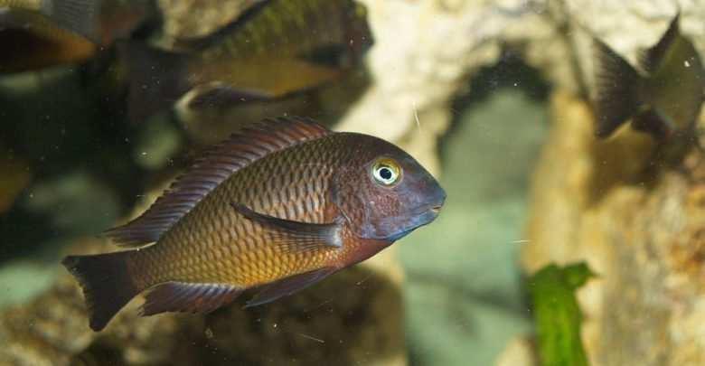 Tropheus sp. Chilanga. Fot. M. Mannell CC Licence