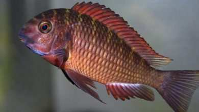 Photo of Tropheus sp. Chimba