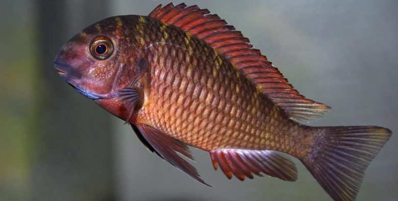 Tropheus sp. Chimba. Fot. M. Mannell CC Licence