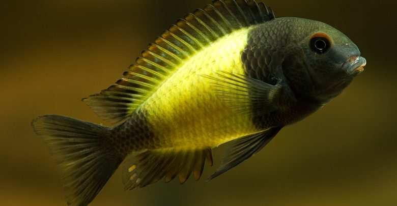 Tropheus sp. Ikola. Fot. Jack Spencer