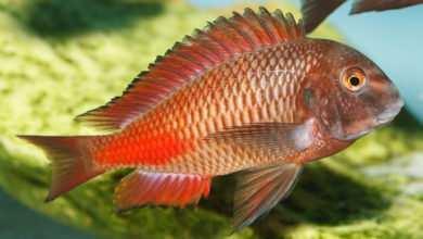Photo of Tropheus sp. Chipimbi