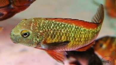 Photo of Tropheus sp. Kachese