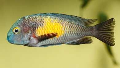 Photo of Tropheus sp. Kasakalawe