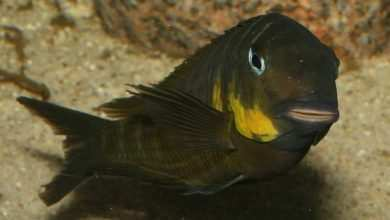 Tropheus Mpimbwe Cape Korongwe. Źródło trophs.com