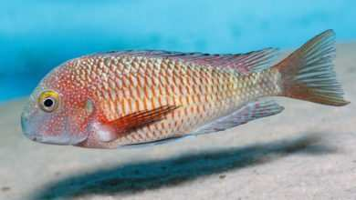 Photo of Tropheus sp. Lufubu