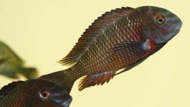 Photo of Tropheus sp. Lupota