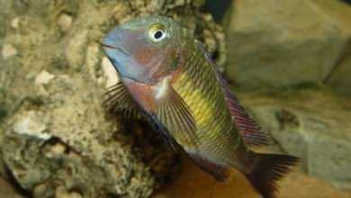 Photo of Tropheus sp. Muzi
