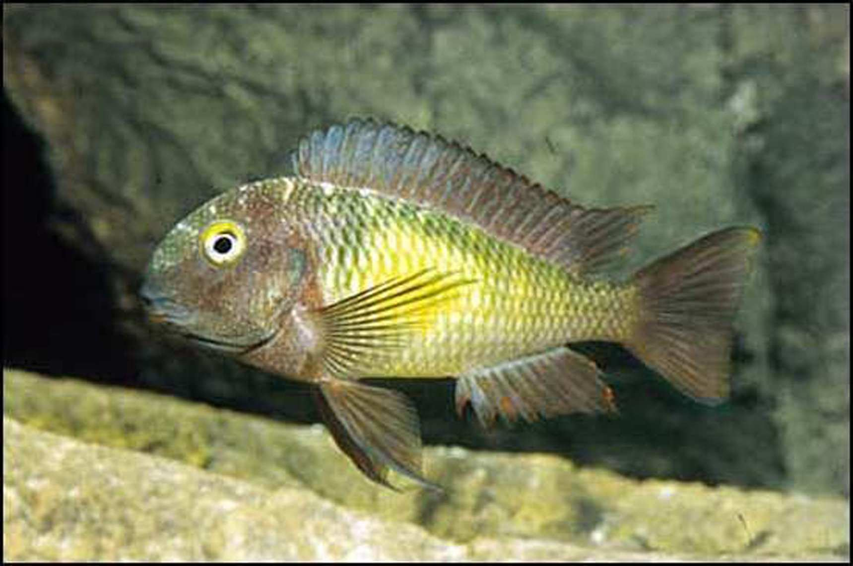 Photo of Tropheus sp. Katoto