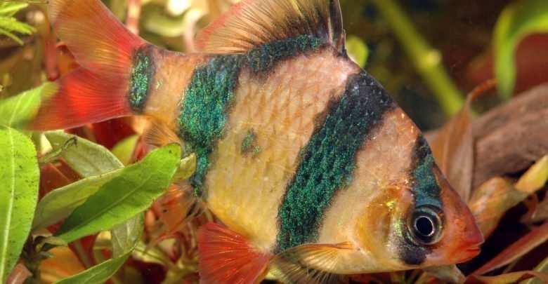 Brzanka sumatrzańska woda kranowa