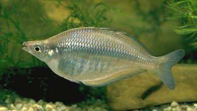 Chilatherina fasciata