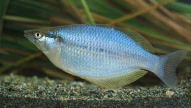 Photo of Chilatherina lorentzi