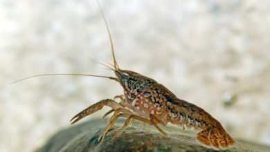 Photo of Rak marmurowy (Procambarus sp.)