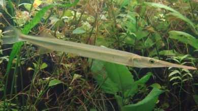 Photo of Słodkowodna iglicznia Xenentodon cancila