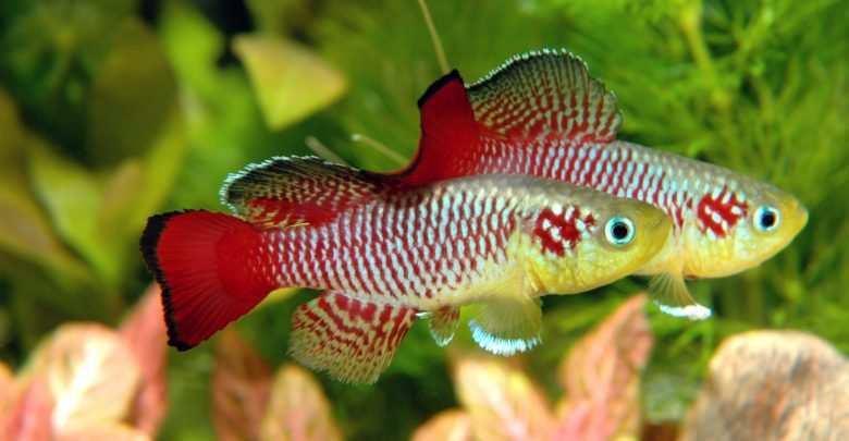 rozmnażanie ryb akwariowych