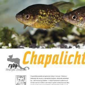 Chapalichthys pardalis