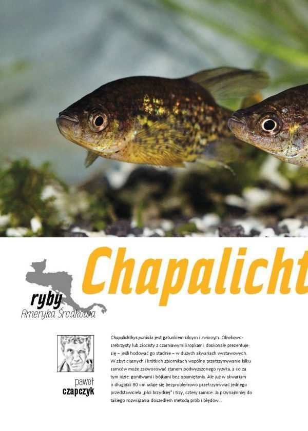 Chapalichthys pardalis