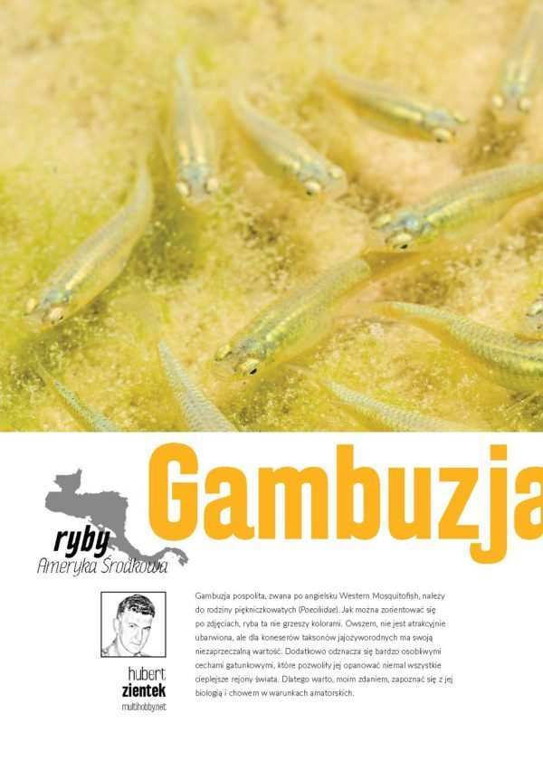 Gambusia affinis gambuzja pospolita