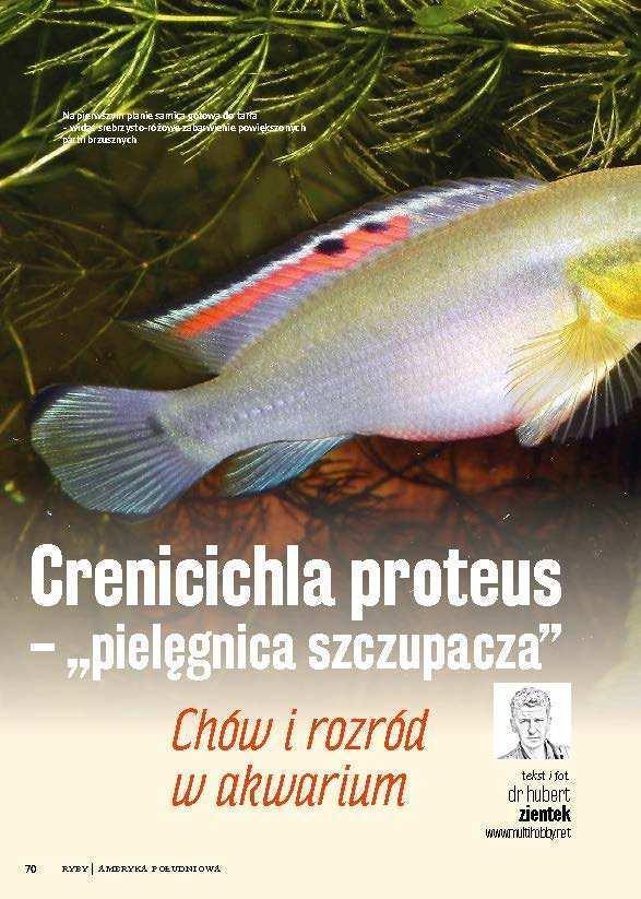 Crenicichla proteus