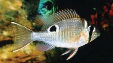 Photo of Biotodoma cupido