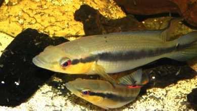 """Photo of Crenicichla proteus – """"pielęgnica szczupacza"""". Chów i rozród w akwarium"""