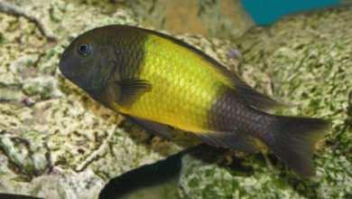 Photo of Tanganika – czy można hodować ryby mięsożerne z roślinożernymiM