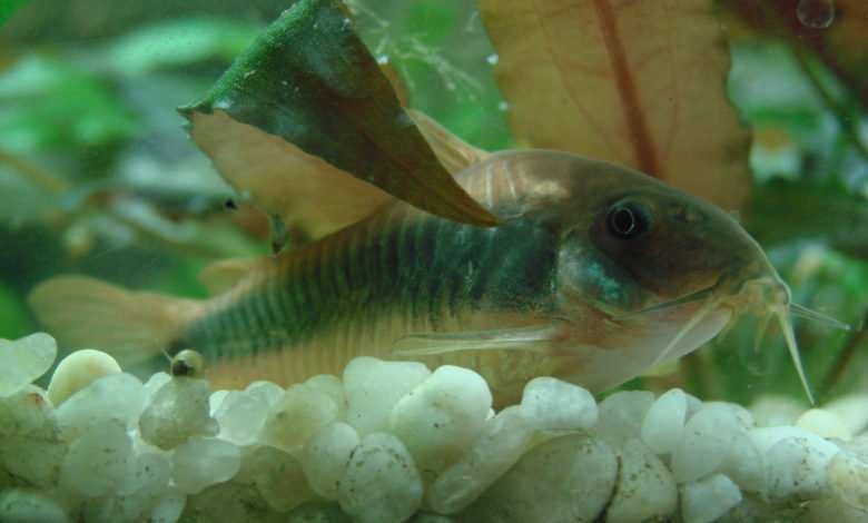 Corydoras aeneus obsada akwarium