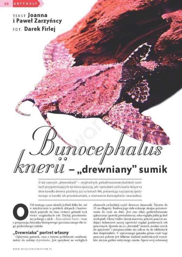 Bunocephalus knerii