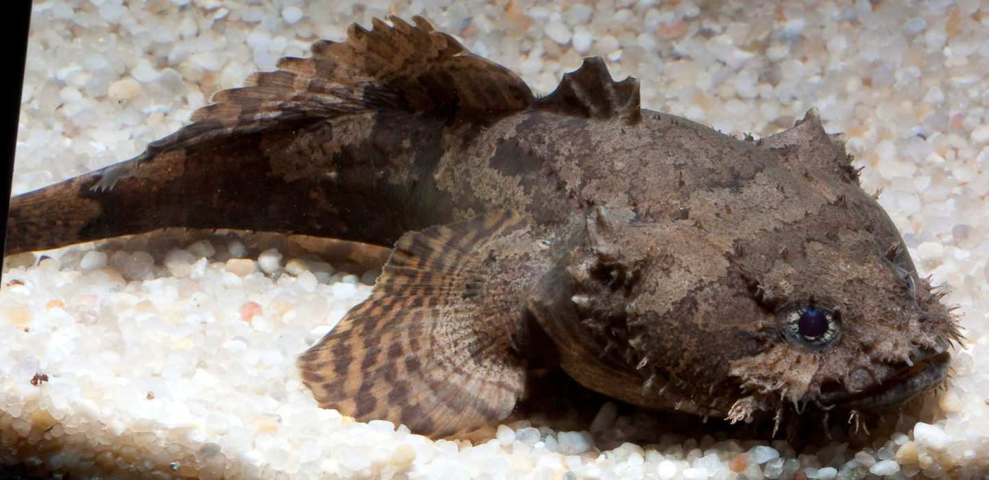 Photo of Allenbatrachus grunniens