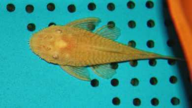 Photo of Ancistrus sp.