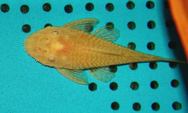 Ancistrus sp. L144