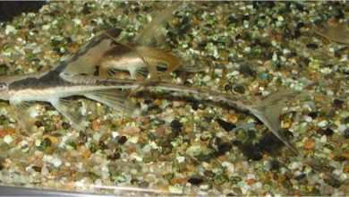 Photo of Lamontichthys filamentosus