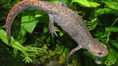 Photo of Cynops orientalis