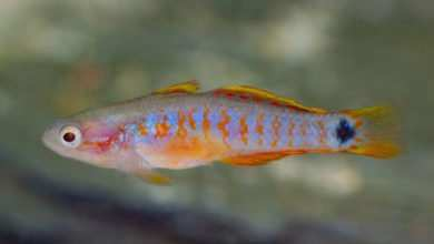 Photo of Tateurdina ocellicauda