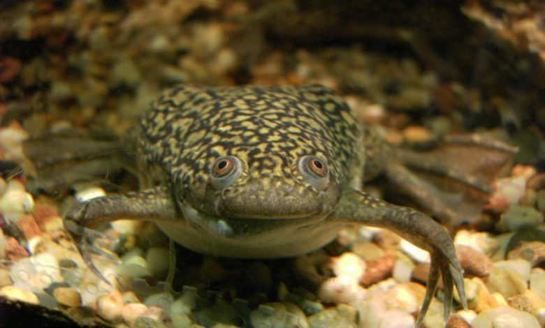 żaba szponiasta