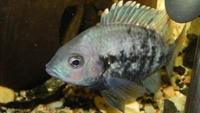 Photo of Ptychochromis oligacanthus, czyli mój Madagaskar