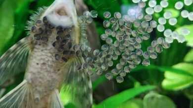 Photo of Sturisoma złocista (Sturisomatichthys aureum) – chów i rozród w akwarium
