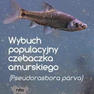 czebaczek amurski